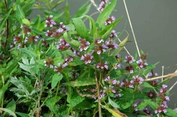 トウバナ(シソ科の花)