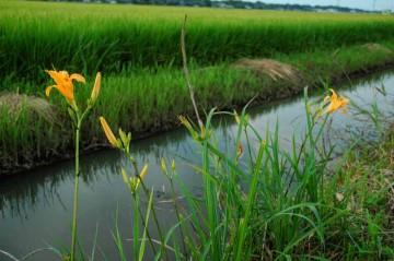 水辺のノカンゾウの花 きっとこの花ももうすぐしぼんでしまいます