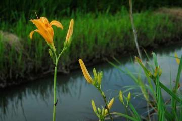 夕方、水辺のノカンゾウの花