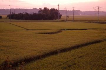 8月、夕方の田んぼ 少し夕靄の出るような日でしょうか?夕焼けがもやに降り注いで、ピンクのフィルターがかかっています。