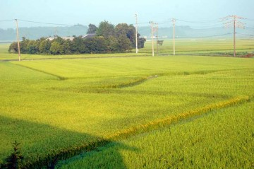 朝の田んぼ。だいぶ黄色っぽくなっています。