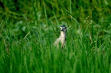 稲の向こうからこちらを伺うゴイサギ。目の位置は一般的な鳥の目の位置なんですが・・・