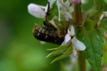 イヌゴマの蜜を吸うハナムグリ これを見ると本当に「ムグって」います。なるほどねって感じです。