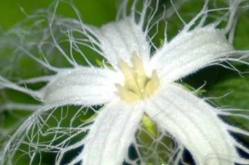 カラスウリ(雌花)の拡大