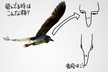 ゴイサギの目の位置(飛行/夜間モード?)普段はまわりを警戒するために鳥モード。夜間や飛行時は集中してみるためにフクロウモード・・・だったりして。