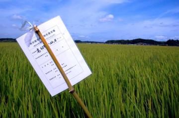 特別栽培米の田んぼ。島地区ではこのような看板?が、いたるところに見られます。特別栽培米とは、そのお米が生産された地域の慣行レベル(各地域の慣行的に行われている節減対象農薬及び化学肥料の使用状況)に比べて、節減対象農薬の使用回数が50%以下、化学肥料の窒素成分量が50%以下、で栽培された農産物で、その表示には節減対象農薬と化学肥料双方の節減していることが必要です。
