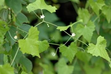 明るい緑のスズメウリの葉 ぽつぽつと花が見えます