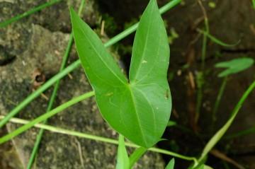 オモダカの葉。人の顔に見えます?ウサギかキツネって感じですけど・・・