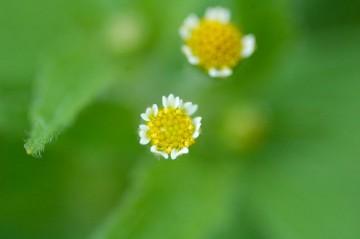 ハキダメギクの花