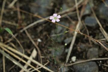 ヌカイトナデシコ こんなに小さいので、上から見ると花しか見えません。