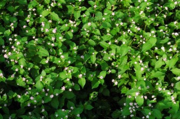 溝蕎麦 一面緑でボーボーに茂っています。そして小さな花をたくさんつけています。