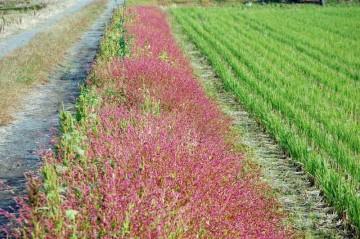 見てください! 刈り終わった田んぼの緑、ネコマンマのピンク、そして農道と、植えたようなストライプがきれいです!