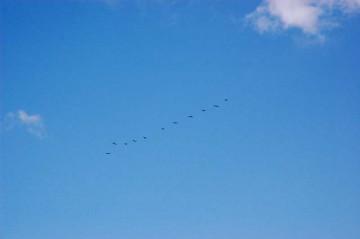 鳥の大編隊に頭上を飛び越されてあわてて家に戻り、カメラを構えたらもう遅かった・・・すでに豆粒です