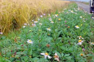 ヨメナかなあ・・・道ばた一面に咲いています。まだ刈っていない飼料稲?の黄色とのコントラストがおもしろいな