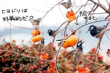 庭の柿の木に集まってきたムクドリたち 何だか騒がしいし、あちこちで小競り合い