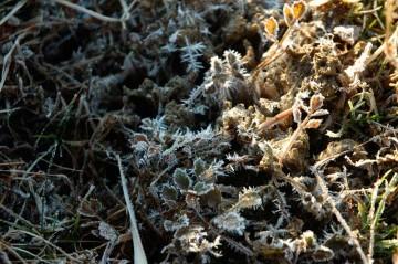 かわいそうなぐらい霜が付いちゃってる草。トゲトゲになってます!