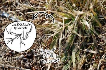 食べているのはこんなイネ科の雑草なんじゃないかな・・・と、思います。