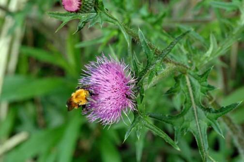 マルハナバチの仲間でしょうか? 蜜を集めているのか花粉を集めているのか・・・一心不乱に作業しています。
