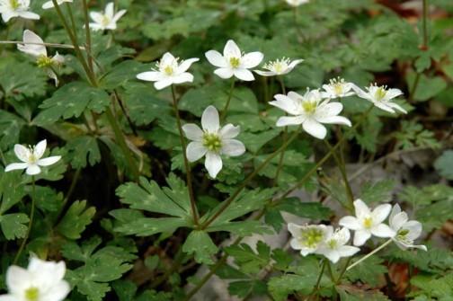 ニリンソウ 5月の花