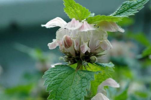 オドリコソウ 少しピンクのかかった花もあります