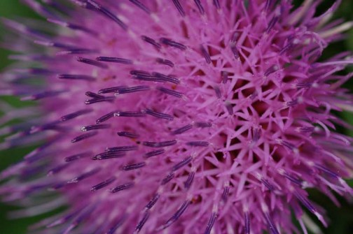 ノアザミの花 道と山の境界にピンクで背が高くて緑も濃く、とっても目立ちます