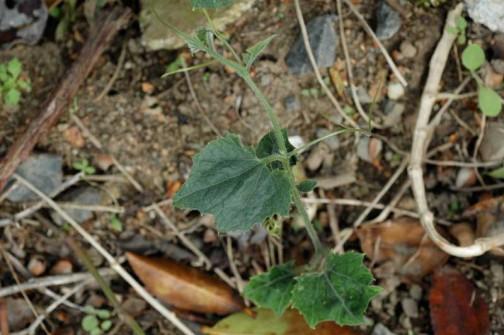 5月26日 草むらの中からもカラスウリが芽を出していました