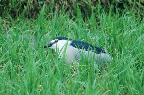 ゴイサギ 子供を見守るような位置にうずくまっています 成鳥は4羽ほどいて 幼鳥のホシゴイは一羽だけでした