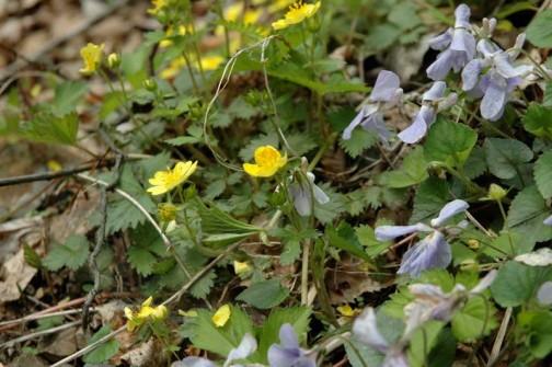 黄色い花も咲いています・・・これはキムジロ?キンバイ?何でしょう・・・よくわかりません