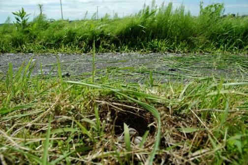 ヒバリの巣の位置 ここは路側帯ではありません 中央分離帯です