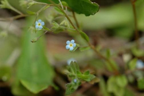 キュウリグサ 淡い青色の花はものすごく小さいです