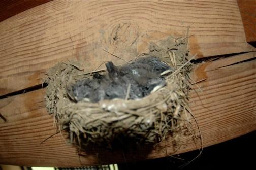 7月12日 ちょっと巣が小さかったみたいですね。もうヒナたちが大きくなるとギュウギュウです。