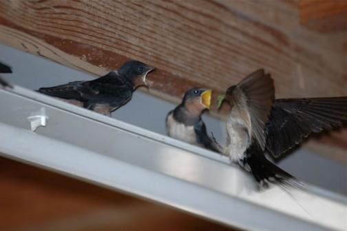 巣から出たヒナにエサをやる親ツバメ これは青虫のように見えますね・・・ボクにもちょうだい!と、脇のヒナも騒いでいます。