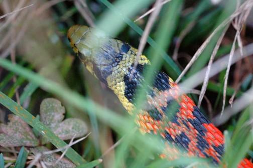 草むらに隠れてしまったヤマカガシ よく見ると黄色から蛍光オレンジへのグラデーションです
