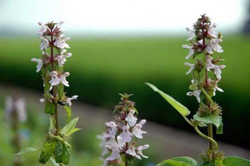 うすいピンクのイヌゴマの花 シソっぽくない葉っぱだけど花はシソの仲間っぽい