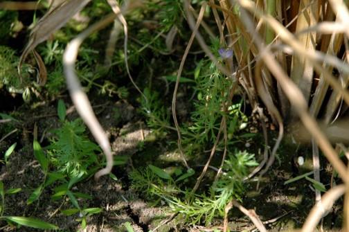ちょっと日陰派かもしれないキクモ。まだ刈り取られる前の稲の間で涼んでる感じ。