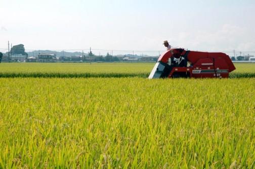 ヤンマーコンバインYWH1400Aによる飼料稲の稲刈り始まってます。