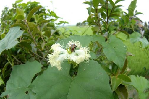 カラスウリの花 雌花