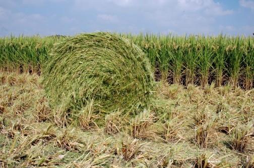 刈り取った稲はこのようなタマに