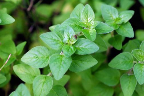 6月の頃の日本ハッカ かわいらしい葉っぱがたくさん出てきています。小さくてもちょっと葉っぱをとって揉むと素晴らしい香り! 何かすればこの香りを取り出せるのかな?