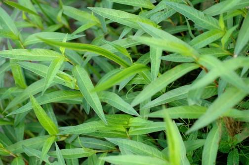 6月、葉っぱがいっぱい出てきています。タデ科の植物っぽいシュッとした葉っぱです。