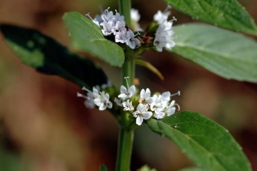 自生する日本ハッカの花 近くで見ると白い花なんだけど、離れてみると薄い薄い紫に見えるハッカの花です。
