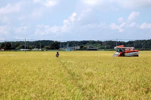 一面の黄金色、稲の海です。田んぼの境がわからなくなっちゃうので角に人が立ってわかるようにしています。