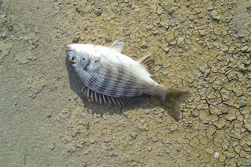 友達がハゼ釣りのとき釣ったと言うクロダイの写真。