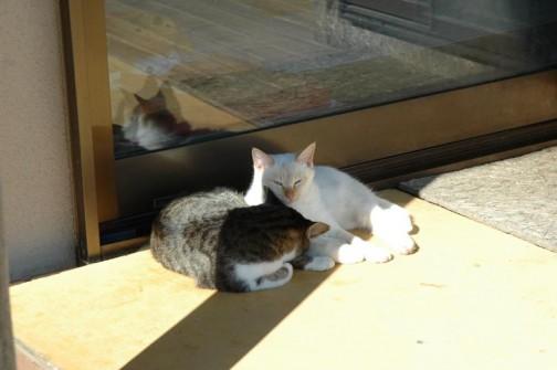 なんと!ネコが増えてしまいました。白いのがそうです。