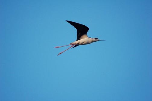 セイタカシギ ああ!飛んで行ってしまった・・・羽根の形がシャープで速そうです