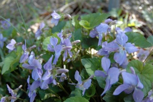 タチツボスミレ 4月の花