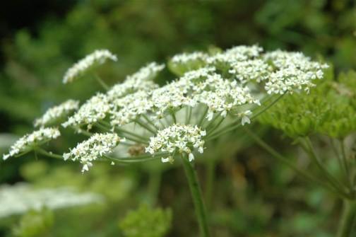 ハナウドの花