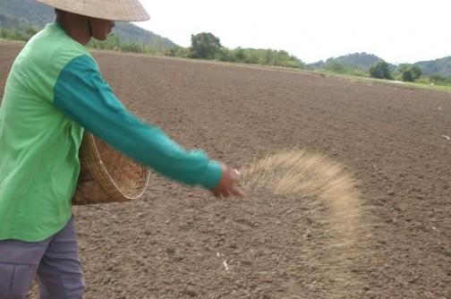 稲の種ぶちまけ 気候の良いところならこれでもいけるんですね