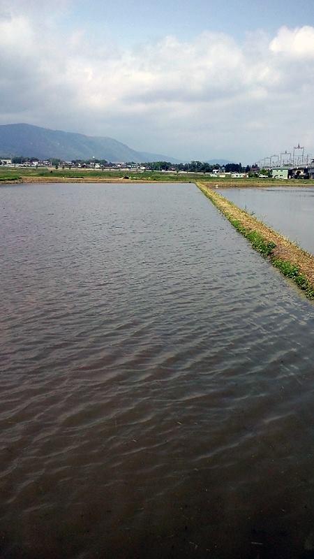 この状態で稲の種を直にまくんですね? いっぱい水を張るんですねえ