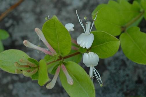 6月の花 スイカズラ